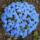 USA SELLER Blue Ageratum 100 seeds