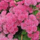USA SELLER Pink Ageratum 100 seeds