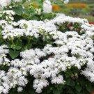 USA SELLER White Ageratum 100 seeds