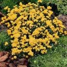 USA SELLER Yellow Ageratum 100 seeds