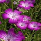 USA SELLER Agrostemma Purple Queen 50 seeds