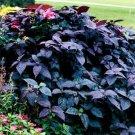 USA SELLER Alternanthera Purple Knight 10 seeds