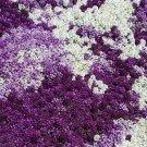 USA SELLER Alyssum Maritima Mix 100 seeds