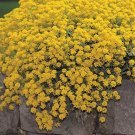 USA SELLER Alyssum Mountain Gold 100 seeds