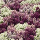 USA SELLER Alyssum Wonderland Mulberry Mix 100 seeds