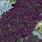 USA SELLER Alyssum Oriental Knights 100 seeds