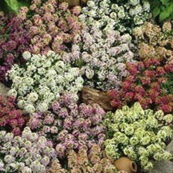 USA SELLER Alyssum  Maritima Paletta Mix 100 seeds