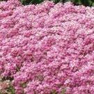 USA SELLER Alyssum Easter Bonnet Deep Pink 100 seeds