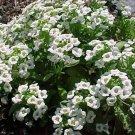 USA SELLER Alyssum Benthamii 100 seeds