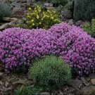 USA SELLER Alyssum Violet Queen 100 seeds