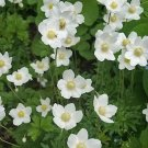 USA SELLER Anemone White 25 seeds