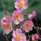 USA SELLER Anemone Pink 25 seeds