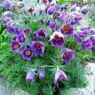 USA SELLER Anemone Violet 25 seeds