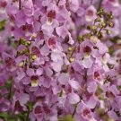 USA SELLER Angelonia Pink 25 seeds