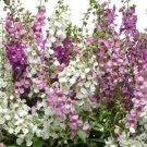 USA SELLER Angelonia Mix 25 seeds
