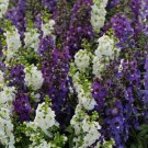 USA SELLER Angelonia Waterfall Mix 25 seeds