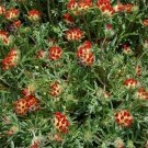 USA SELLER Anthyllis Red Carpet 25 seeds