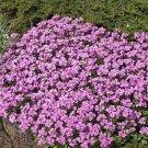 USA SELLER Rose Wall Rock Cress 25 seeds