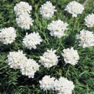 USA SELLER Maritima White Lady's Cushions 25 seeds
