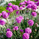 USA SELLER Splendens Joystick Mix 25 seeds