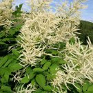 USA SELLER Goats Beard 100 seeds