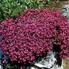 USA SELLER Cascading Red Rock Cress 25 seeds