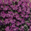 USA SELLER Cascading Purple Rock Cress 25 seeds