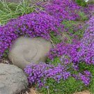 USA SELLER Whitewell Gem Rock Cress 25 seeds