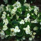 USA SELLER Begonia Wax White 10 seeds