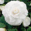 USA SELLER Begonia Tuberosa White 10 seeds