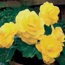 USA SELLER Begonia Tuberosa Yellow 10 seeds