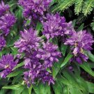 USA SELLER Cluster Bellflower Blue 100 seeds