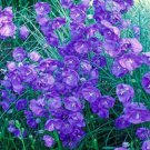 USA SELLER Peach leaved Bellflower Blue 100 seeds