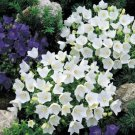 USA SELLER Bellflower White 100 seeds