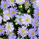 USA SELLER Swan River Daisy White (Brachyscome) 25 seeds