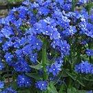 USA SELLER Blue Angel Bugloss 25 seeds