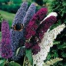 USA SELLER Butterfly Bush Mix 25 seeds