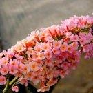 USA SELLER Peach Cobbler Butterfly Bush 25 seeds