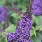 USA SELLER Pugster Blue Butterfly Bush 25 seeds