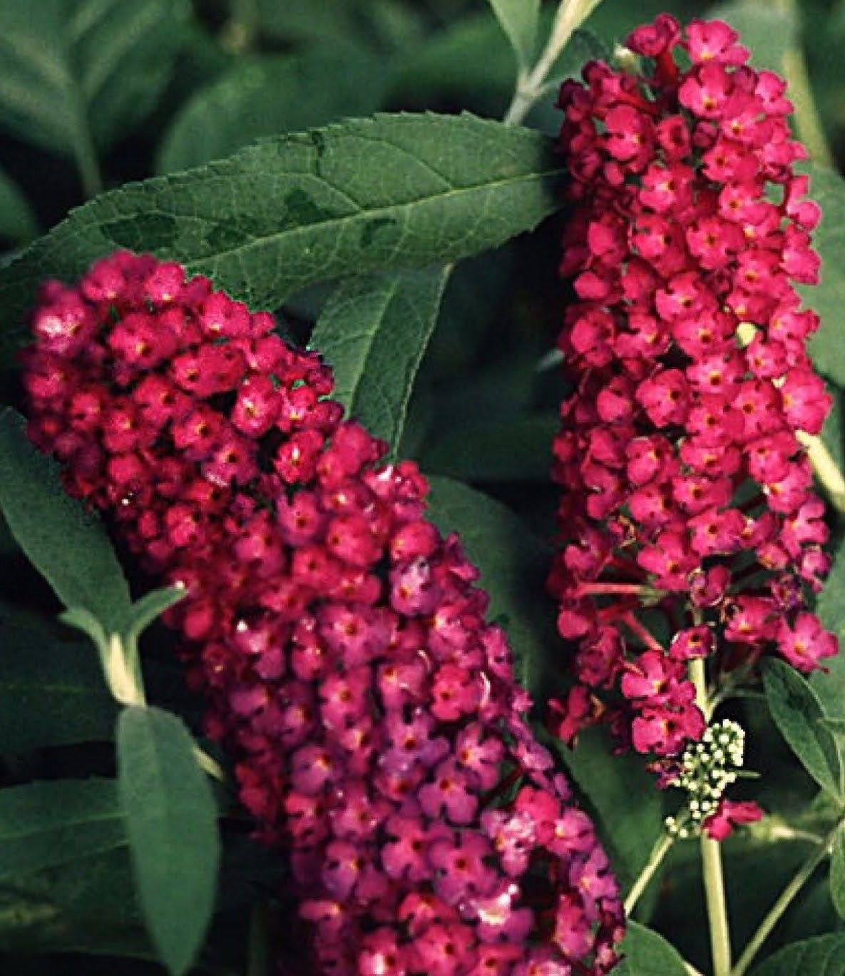 USA SELLER Royal Red Butterfly Bush 25 seeds