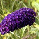 USA SELLER Black Knight Butterfly Bush 25 seeds