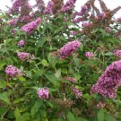 USA SELLER Pink Delight Butterfly Bush 25 seeds