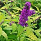 USA SELLER Crown Jewels Butterfly Bush 25 seeds