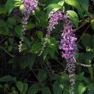USA SELLER Weeping Butterfly Bush 25 seeds