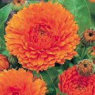 USA SELLER Orange King Calendula 10 seeds