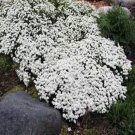 USA SELLER Candytuft 50 seeds