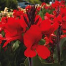 USA SELLER Canna Red 5 seeds
