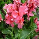 USA SELLER Canna Rose 5 seeds