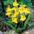 USA SELLER Canna Yellow 5 seeds