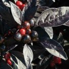 USA SELLER Black Pearl Ornamental Pepper seeds
